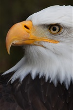 Preview iPhone wallpaper Eagle, white feather head