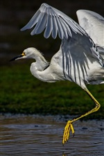 Egret run, wings, neck