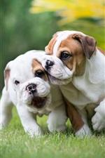 English bulldog, two puppies