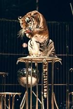 iPhone обои Девушка и тигр, приручение