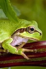 Green frog, leaves