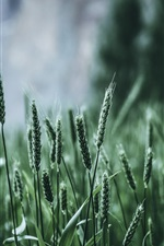 Preview iPhone wallpaper Green wheat, fields
