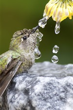 Preview iPhone wallpaper Hummingbird drink water, flower