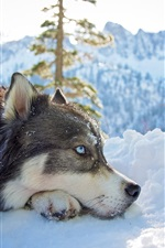 Preview iPhone wallpaper Husky dog, head, winter, snow