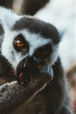 미리보기 iPhone 배경 화면 여우 원숭이는 음식을 먹는다.