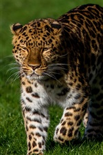 Preview iPhone wallpaper Leopard walk in the grass
