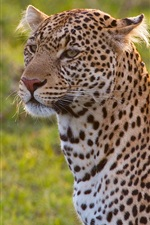 Preview iPhone wallpaper Leopard, wild cat, grass