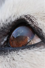 Preview iPhone wallpaper Malamute dog eyes macro photography