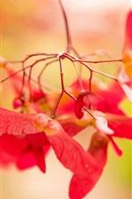 iPhone fondos de pantalla Flores rojas del árbol de arce