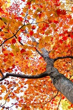 Preview iPhone wallpaper Maple tree, red leaves, bottom view, autumn