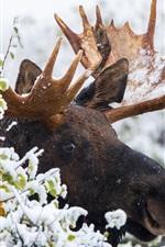 Moose in winter, snow, horns