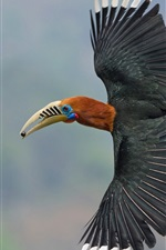 Preview iPhone wallpaper Nepalese Hornbill, wings, flight