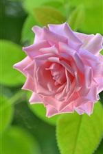 Uma rosa rosa, folhas verdes de fundo