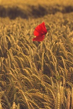 Preview iPhone wallpaper One red poppy flower in the wheat field
