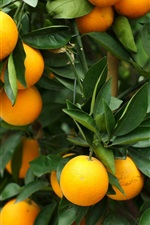 Preview iPhone wallpaper Oranges, tree, leaves, fruit