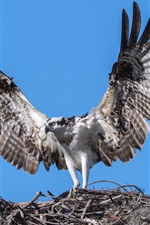 Preview iPhone wallpaper Osprey, eagle, bird, wings