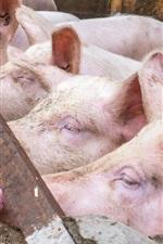 iPhone fondos de pantalla Los cerdos se paran en una línea
