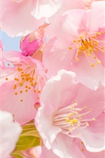 Preview iPhone wallpaper Pink cherry flowers bloom, spring, petals