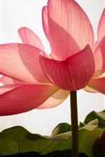 Pink lotus, petals, backlight