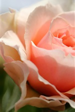 Preview iPhone wallpaper Pink rose close-up, petals