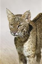 Preview iPhone wallpaper Predator, lynx, wild cat, grass