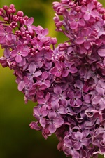 Preview iPhone wallpaper Purple flowers, lilac, inflorescence