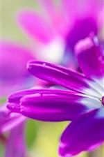 iPhone обои Фиолетовые цветы остеосперма