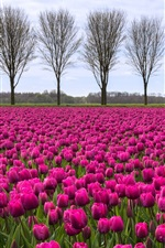 Preview iPhone wallpaper Purple tulips field, trees