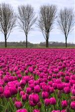 iPhone壁紙のプレビュー 紫色のチューリップ畑、木々
