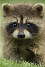 Preview iPhone wallpaper Raccoon in the grass, playful