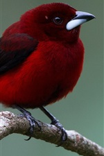 Preview iPhone wallpaper Red feather bird, beak