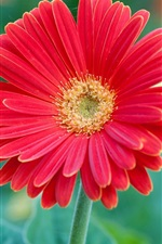 Red gerbera flower macro photography, petals