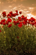Preview iPhone wallpaper Red poppies, flowers, sunset, clouds