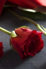 Preview iPhone wallpaper Red rose, blurry background