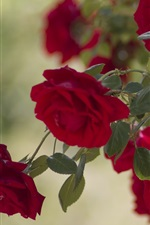 Preview iPhone wallpaper Red rose flowers, garden