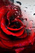 Red rose, glass, water drops