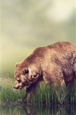 River side, grass, fog, brown bear
