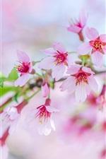 Preview iPhone wallpaper Sakura, beautiful pink flowers bloom, spring