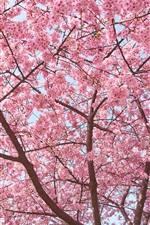 Preview iPhone wallpaper Sakura tree, flowers bloom, beautiful spring