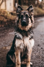 Preview iPhone wallpaper Shepherd dog sit on ground