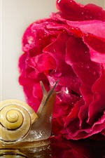 iPhone壁紙のプレビュー カタツムリと赤いバラ、水滴