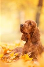iPhone fondos de pantalla Spaniel, calabaza, hojas amarillas, otoño