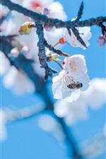 Spring, sakura, white flowers, bee