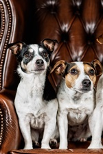 Preview iPhone wallpaper Three dogs sit on chair