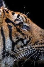 Preview iPhone wallpaper Tiger face, black background