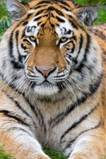 Preview iPhone wallpaper Tiger rest, front view, big cat