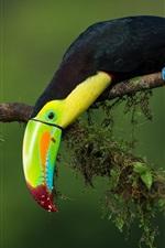 미리보기 iPhone 배경 화면 큰 부리 새, 트리 분기, 녹색 배경