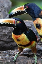 Preview iPhone wallpaper Two birds, toucan, colorful feathers