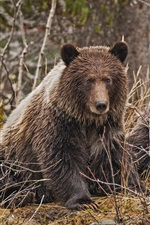Preview iPhone wallpaper Two brown bears, bushes