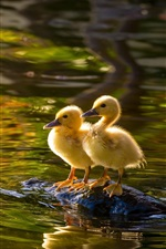 Preview iPhone wallpaper Two ducklings, lake, water